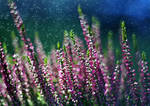 September Heather by Justine1985