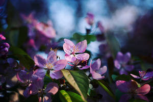 Pink Blossom by Justine1985