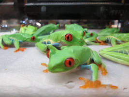 Red Eye Tree Frogs by ReptileMan27