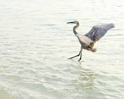 Great Blue Heron No. 1 by slephoto