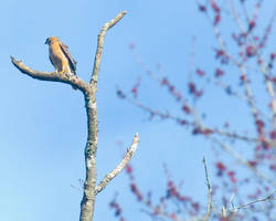 Red Shouldered Hawk No. 1 by slephoto