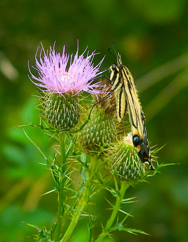 Eastern Tiger Swallowtail 01 by slephoto