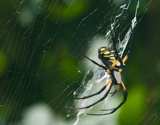 Black-Yellow Garden Spider 2 by slephoto