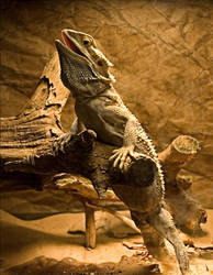 Bearded Dragon No. 1 STOCK by slephoto