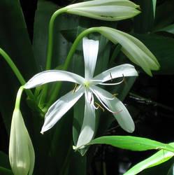 Swamp Lily by NikashaIniquitous