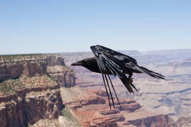 Arizona Raven by xXxDark-RavenxXx
