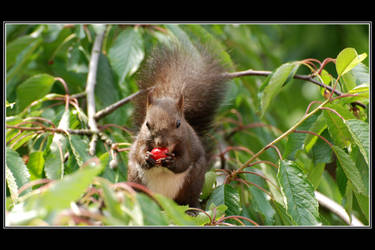 Squirrels like cherries by Rajmund67