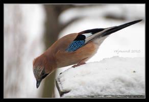 Eurasian Jay by Rajmund67