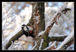 Great Spotted Woodpecker by Rajmund67