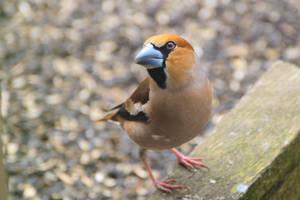 A hawfinch by Rajmund67