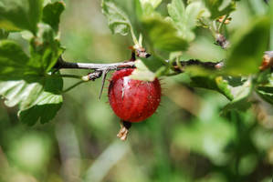 gooseberry by werwolf-lg