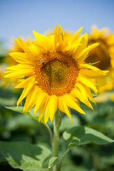 Sunflower by IgorKlajo
