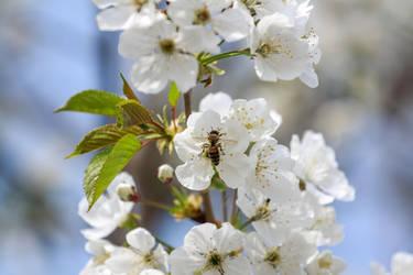 Working on a cherry tree by IgorKlajo