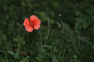 Red Poppy by ArthokTM