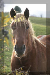 Blond horse portrait by hipe-0