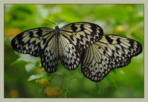 Butterflies by barcon53