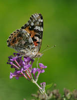 Painted Lady by barcon53