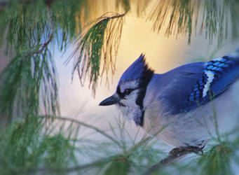 Blue Jay in the morning by barcon53