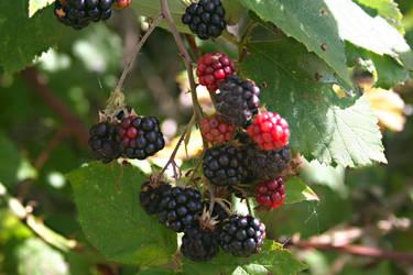 Mmmmm Blackberries by BreezeStock