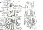 Sketch of the anatomy : foot muscles . by SLY-2