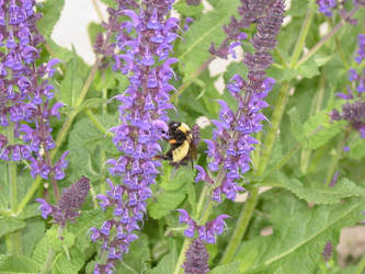 lavander and bee by angelasashes