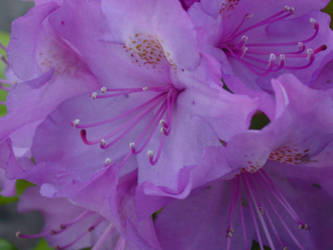purple by angelasashes