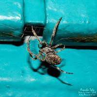Aranha tolo by Luton
