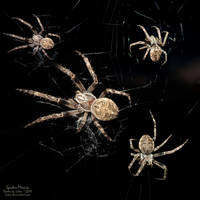 Spider-Mania by Luton
