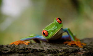Tropical Red-eyed tree frog by diginoobSI