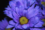 Deep Purple Daisy by bloomingvinedesign