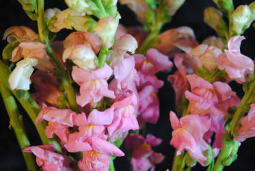 Pink Snapdragons by bloomingvinedesign