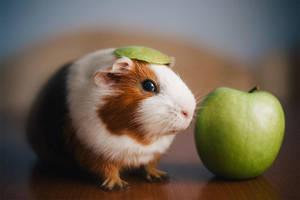 guinea pig by Cvet04ek