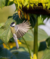 Great Tit and breakfast by ErikEK