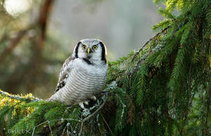 Hawk Owl in Nowember 2013 by ErikEK