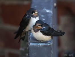 Barn swallows by ErikEK
