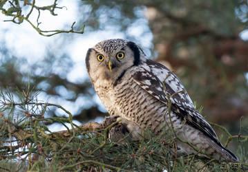 Northern Hawk-Owl by ErikEK