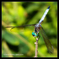 Green Eyed Dragonfly by Mogrianne