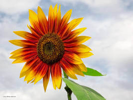 Hot Sun Flower by Mogrianne