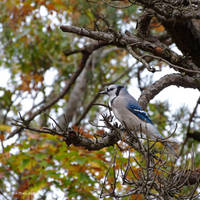 Blujay Autumn Profile by Mogrianne