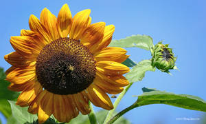 Here and Soon Sunflower by Mogrianne