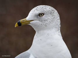 Portrait of a gull by Mogrianne