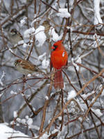Cardinal in snowy branches by Mogrianne