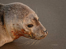 Young seal portrait by Mogrianne