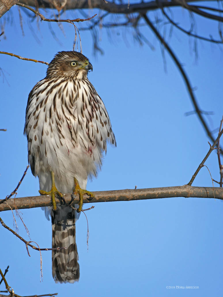 Cooper's Hawk Visiting the Feeder by Mogrianne