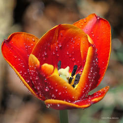 Red tulip open by Mogrianne
