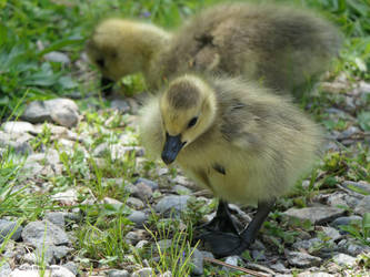 Lil Baby Canada Goose by Mogrianne
