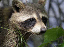 Raccoon face by Mogrianne