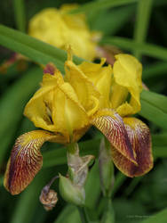Yellow Iris in my Garden by Mogrianne