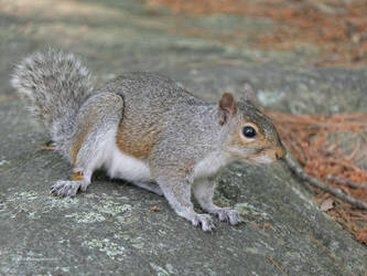 Grey Squirrel on a Rock by Mogrianne