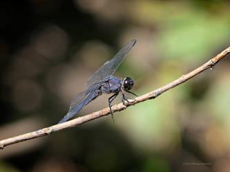 Dark Blue Dragonfly by Mogrianne